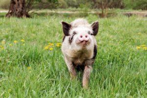 proud pig