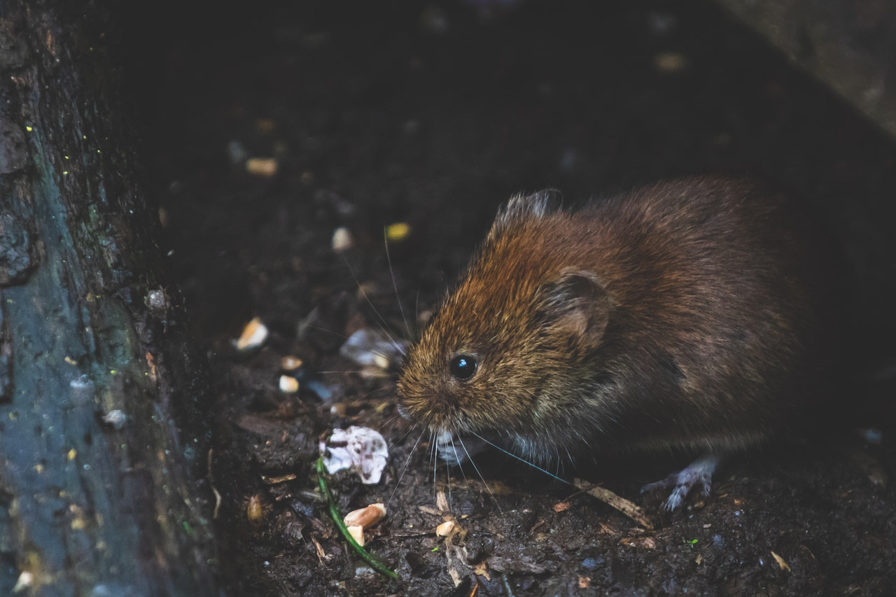 close-up of adorable brown vole nibbling on something